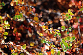 Greenland birch, also called dwarf birch; Near Kangerlussuaq in West Greenland; typical representative of arctic flora or tundra vegetation; a few green leaves, but a large part of the foliage has already turned reddish; Autumn leaves