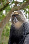 Kilimanjaro, white-necked monkey at Machame Gate, watches the arriving hikers, waits for food