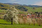 Cherry blossom in Feldberg - Obereggenen, Schliengen, Markgr? Flerland, southern Black Forest, Baden-W? Rttemberg, Germany, Europe