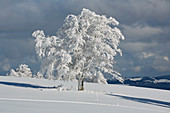 Snow-covered wind beech on the Schauinsland, Southern Black Forest, Black Forest, Baden-Wuerttemberg, Germany, Europe