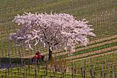 Rest under a blossoming fruit tree near Leiselheim, Kaiserstuhl, Baden-W? Rttemberg, Germany, Europe