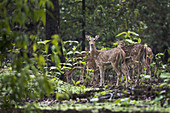 Chital or cheetal (Axis axis) in the rain  was taken in Nagzira Sanctuary, Nagpur, Maharashtra, India