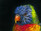 Rainbow lorikeet Trichoglossus moluccanus