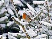 Single Robin Erithacus Rubecula in snow
