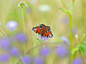 Peacock Butterflies Inachis io in wild flower meadow