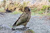 Kea \nNestor notabilis\nLarge parrot in the family Nestoridae and found in alpine regions in the South Island of New Zealand.\nThe Kea is the worlds only Alpine parrot.\nThey often frquent car parks where they ae on the lookout for handouts. Feeding Kea's is strictly prohibited.