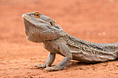 Central Bearded Dragon\nPogona vittticeps