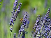 Honeybee worker Apis mellifera feeding on garden lavender in cottage garden border