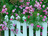 Climbing roses and gate country garden Norfolk