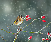 Goldfinch Carduelis carduelis on rosehips in snow