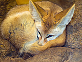 Fennec fox Vulpes zerda sleeping Captive photograph