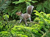 Grey Squirrel Sciurus carolinensis in summer on scots pine tree