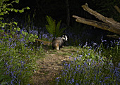 Badger (Meles meles) in ancient woodland, Sussex, UK
