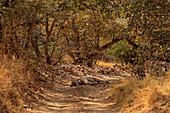 Bengal Tiger\n(Panthera tigris)\nsleeping in heat\nRanthambhore, India\n