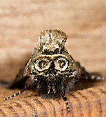 An extreme front view close-up of a Spectacled moth (Abrostola triplasia) showing the curious spectacles markings on the front of the thorax, resting on a wooden panel in a Norfolk garden in summer