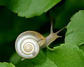 Close-up of a Carthusian snail (Monacha cartusiana) an air-breathing land snail crawling on a leaf in a woodland habitat in Croatia Europe