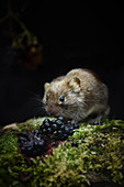 Bank Vole, Myodes glareolus,feeding on blackberries, at the edge of an Oxfordshire woodland, late summer