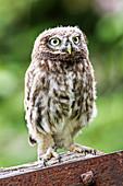 Juvenile Little Owl (Athene noctua)