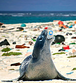 Hawaiian monk seal, Neomonachus schauinslandi, playing with empty plastic bottle on a beach covered with plastic garbage.  All this garbage was brought by the sea currents from afar; even from continents on the other side of the world. This seal, as many other marine animals, end up ingesting these plastic objects that cause obstructions of the digestive tract and a terrible death after prolonged suffering. Hawaii \n\n\nDigital composite