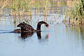 a black swan (Cygnus atratus) feeding on a lake in Norfolk England UK