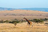 A Reticulated giraffe (Giraffa reticulata) at the Lewa Wildlife Conservancy in Kenya.
