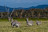 Endangered Grevy s zebras (Equus grevyi) at the Lewa Wildlife Conservancy in Kenya.