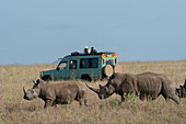 Tourists in safari vehicles watching the endangered white rhinoceros or square-lipped rhinoceros (Ceratotherium simum) at the Lewa Wildlife Conservancy in Kenya.