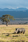 Endangered white rhinoceros or square-lipped rhinoceros (Ceratotherium simum) in the grassland at the Lewa Wildlife Conservancy in Kenya.