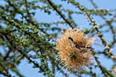 A Black-capped social weaver (Pseudonigrita cabanisi) is weaving a nest with dry grass in a tree in the Samburu National Reserve in Kenya.