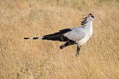 A Secretary bird (Sagittarius serpentarius) is looking for food in the dry savannah grassland of Samburu National Reserve in Kenya.