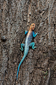 A male Agama lizard sitting on a tree trunk in the Samburu National Reserve in Kenya.