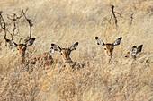 Juvenile Impalas (Aepyceros melampus) laying in the high grass in Samburu National Reserve in Kenya.