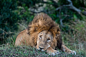 A male lion (Panthera leo) is resting in the Masai Mara National Reserve in Kenya.
