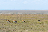 Thomsons gazelles (Eudorcas thomsonii) grazing in the overgrazed grassland of the Masai Mara National Reserve in Kenya with Maasai cattle in the background.