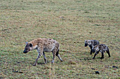 Spotted hyenas (Crocuta crocuta) with babies in the grassland of the Masai Mara National Reserve in Kenya.
