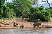African elephants (Loxodonta africana) drinking water from the Ewaso Ngiro River in the Samburu National Reserve in Kenya.