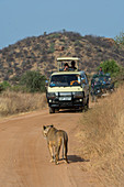 A lioness (Panthera leo) is walking on a road looking for prey in the Samburu National Reserve in Kenya with safari vehicle in the background.