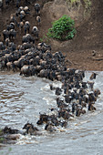 Wildebeests, also called gnus or wildebai, crossing the Mara River in the Masai Mara National Reserve in Kenya during their annual migration.