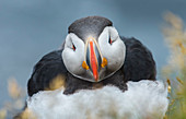Atlantic puffin (Fratercula arctica), Latrabjarg, Westfjords, Iceland. Bird during the breeding season outside of its burrow.  The only puffin native to the Atlantic Ocean.