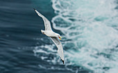 Black-legged kittiwake (Rissa tridactyla) Flying. Latrabjarg, Westfjords, Iceland. North Pacific and north Atlantic oceans, found most commonly in North America and Europe.