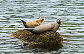 Common seal (Phoca vitulina), or Harbour Seal. Animals Female and baby resting., Westfjords. Iclenad.  Northern Atlantic and Pacific Oceans and the Baltic and North Seas