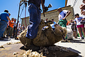 Trasquila a sheep after traveling a transhumance road through the province of Soria in Spain