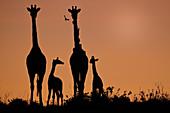 GIRAFFE, CAMELOPARDUS, NATIONAL PARK MASAI MARA, KENYA, AFRICA