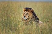 LION, PANTHERA LEO, MASAI MARA, NATIONAL PARK OF MASAI MARA, KENYA, AFRICA