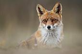 Fox, Vulpes, Leon, Spain