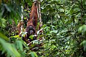 Male Bornean orangutan (Pongo pygmaeus) with large cheek flanges holding onto trees in Sarawak, Malaysia.