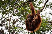Bornean orangutan (Pongo pygmaeus) mother and baby eating in a tree in Sarawak, Malaysia.