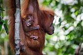 Sumatran orangutan (Pongo abelii) infant clinging to mom in Bukit Lawang, Indonesia.