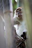Long-tailed macaque (Macaca fascicularis) peering out of a bamboo patch in Sumatra, Indonesia.