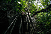 Rainforest tree roots growing over the entrance to a cave in Bukit Lawang, Sumatra.